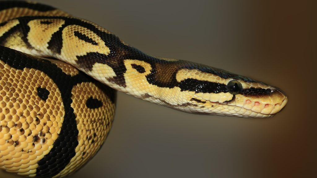 Una serpiente muerde a un hombre en el pene mientras estaba sentado en el retrete