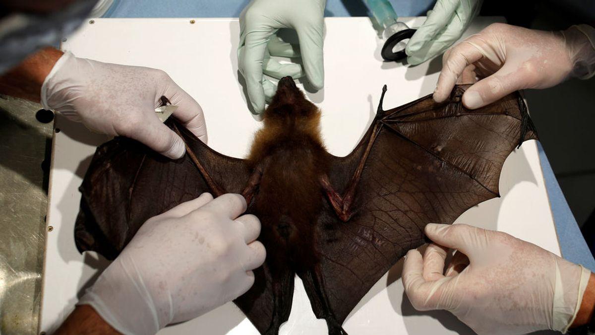 Los murciélagos no enferman de coronavirus: cosas que aprender de su sistema inmune