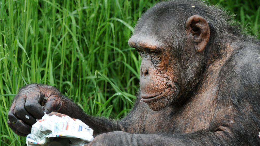 Humanos y chimpancés: en qué momento de la evolución dejamos de ser iguales
