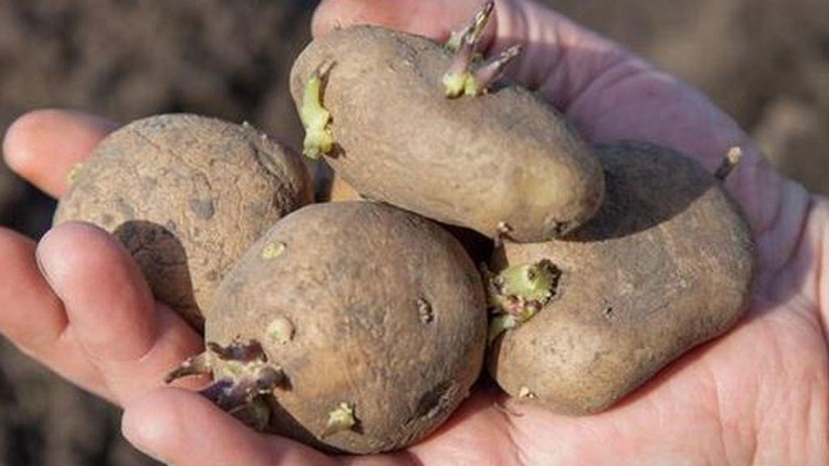 Alertan del peligro para la salud de consumir patatas con brotes: los bebés y los niños, los más perjudicados