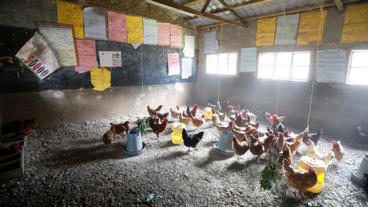 Solo los pollos van a clase en Kenia