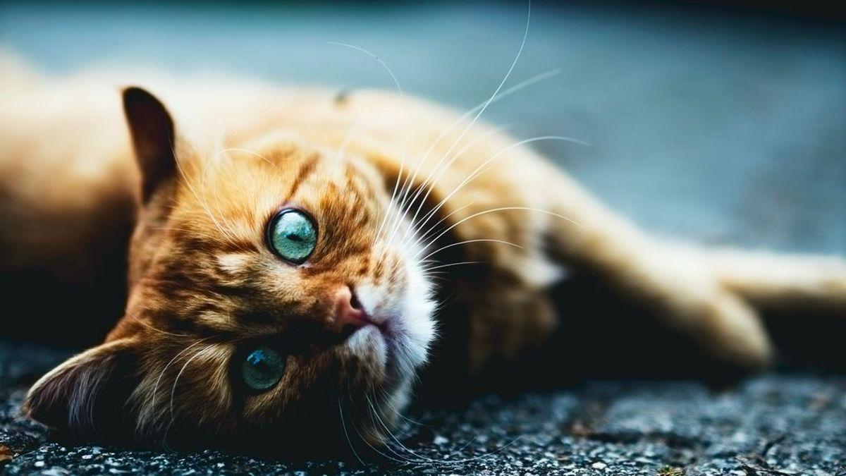 No son de la misma raza sino que comparten una particularidad genética, y otras curiosidades de los gatos naranjas