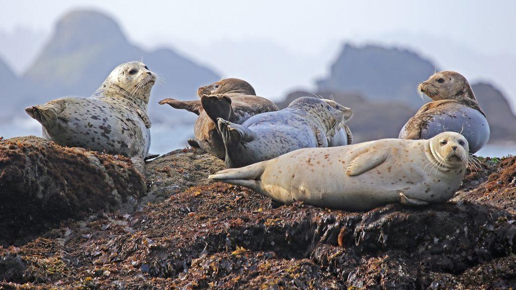 """La foca """"patito feo"""" a la que su colonia rechazó por ser pelirroja"""