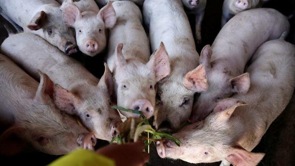 Alemania registra el primer caso de peste porcina africana