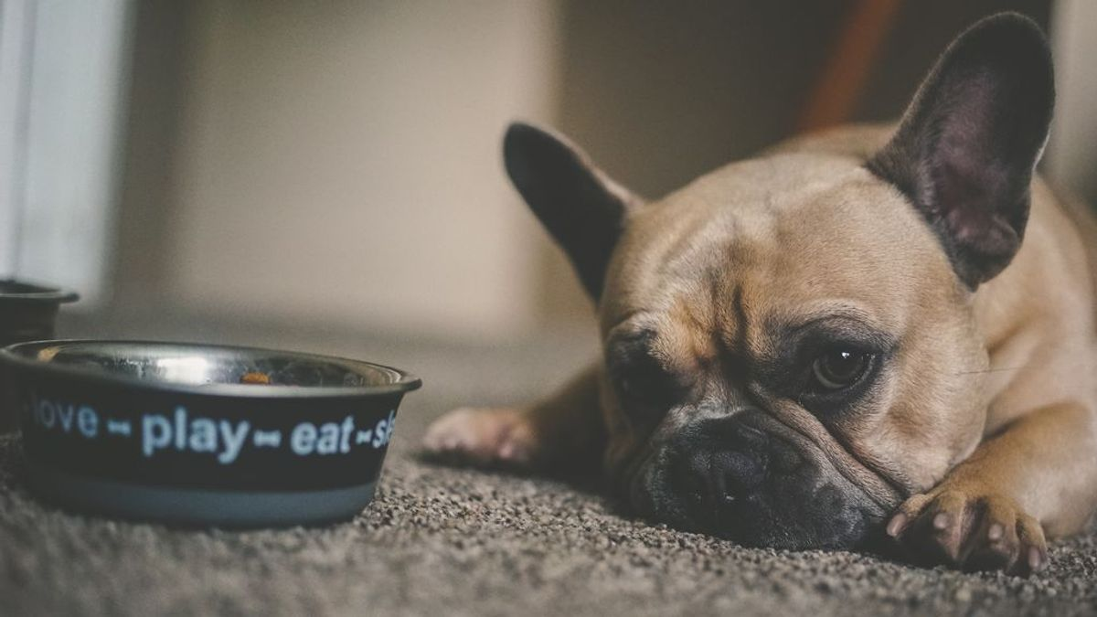 Por instinto o glotonería, pero nunca es buena señal: qué hacer si tu perro engulle la comida