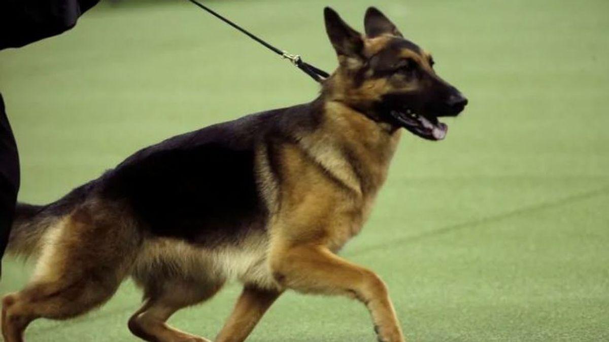 Un perro rastreador de la policía rescata a una adolescente de 15 años que estaba siendo violada