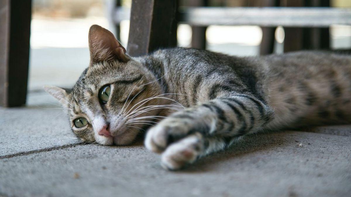 Problemas respiratorios en los gatos, tan comunes como peligrosos