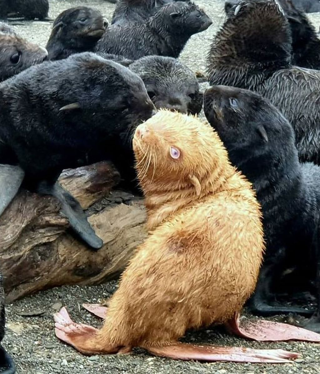 ginger-seal-albino-russia-tyuleny-island-5f59db371cec5__700