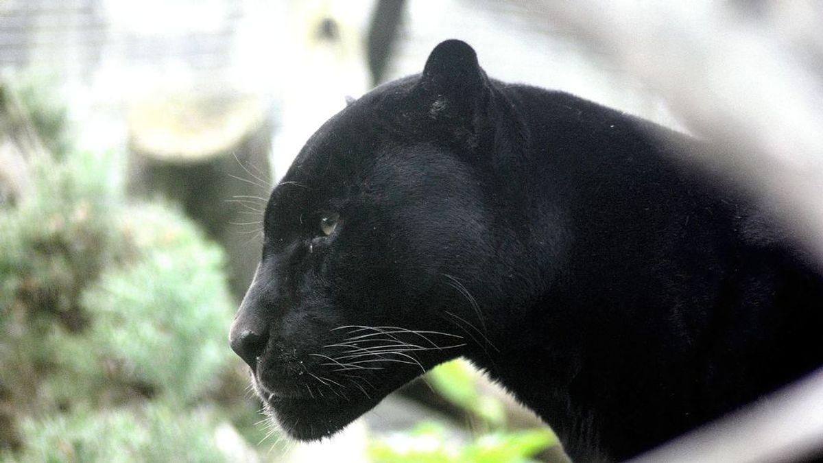 Alertan de la presencia de una pantera negra en Ventas de Huelma, un pueblo de Granada