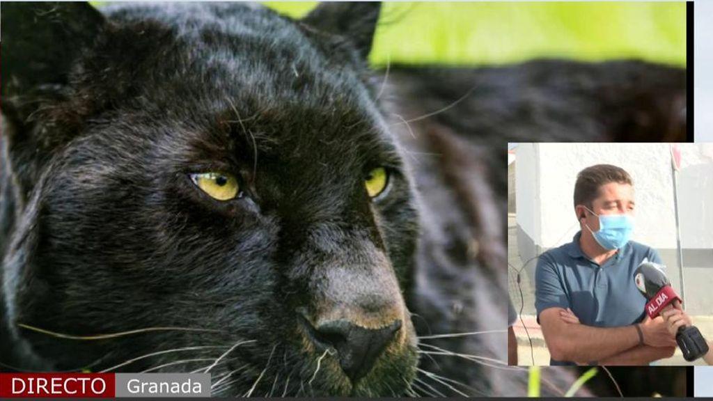Se busca pantera negra en Granada