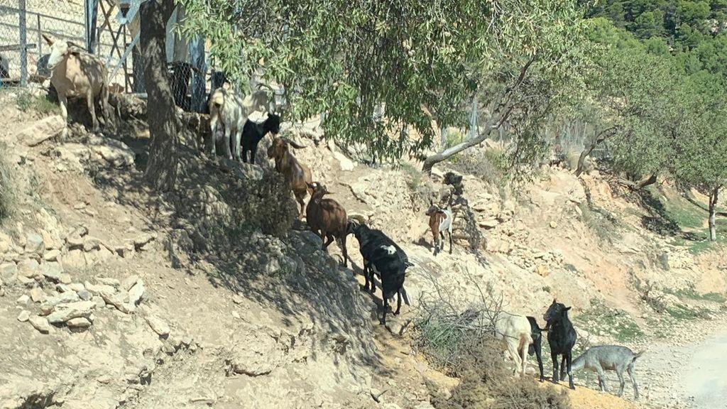 cabras fuera de la finca