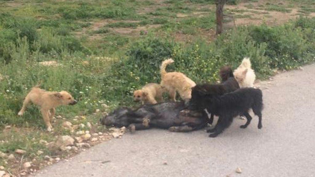 perros comiéndose jabali