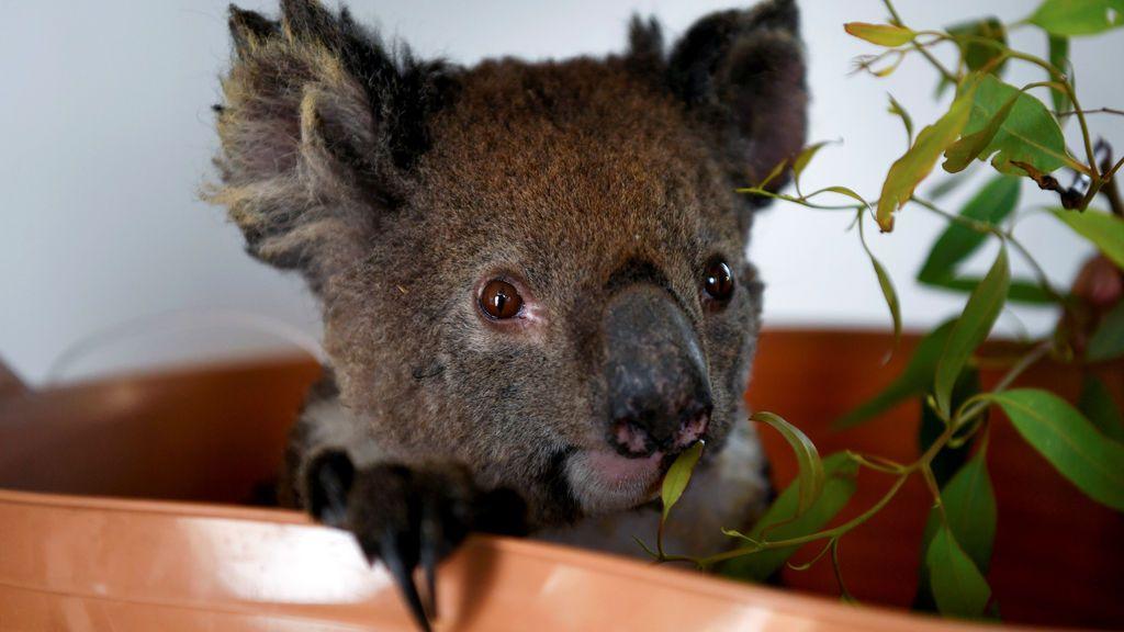 Salvar a los koalas: la misión de perros rastreadores en Australia
