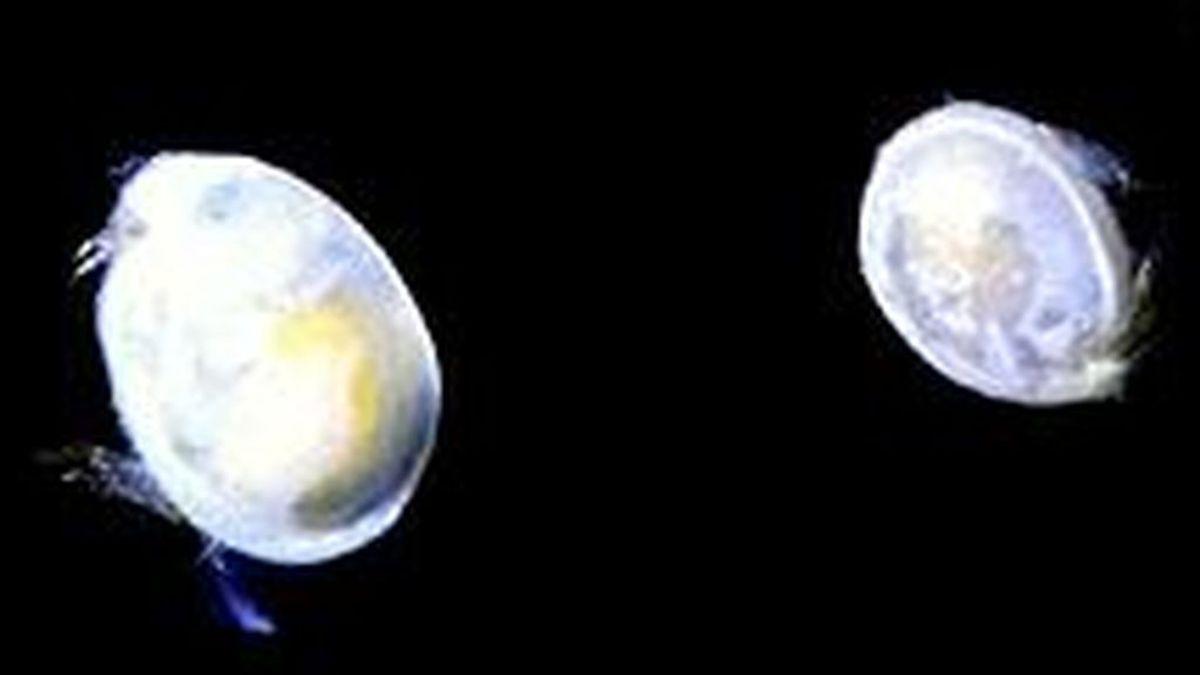 El esperma gigante y más antiguo encontrado pertenece a un ostrácodo