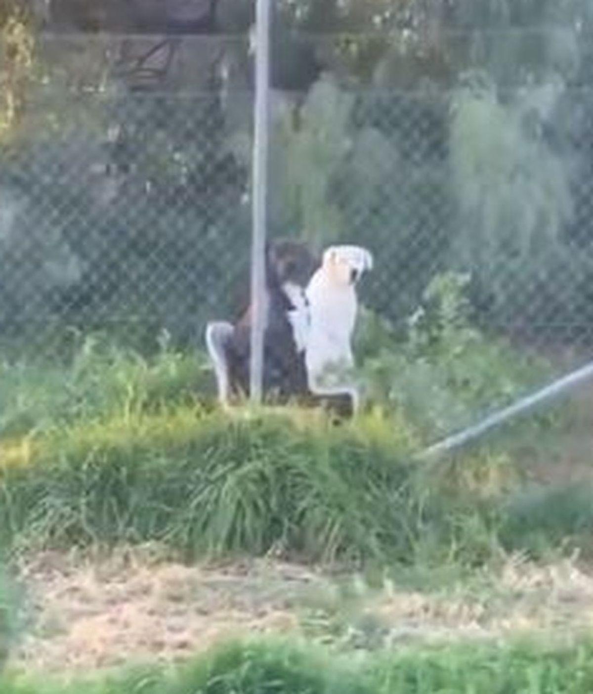 Graban a dos perros sentados en sillas de jardín en Australia