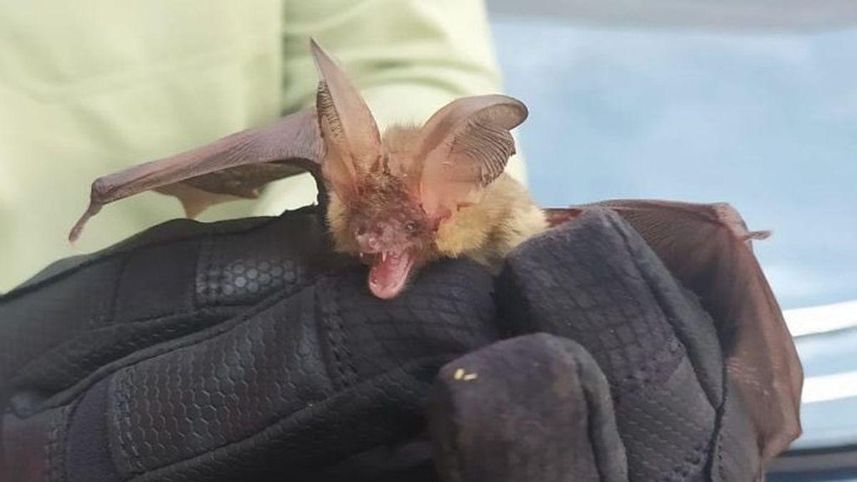 Rescatan a un murciélago orejudo que se había colado en una vivienda de Madrid