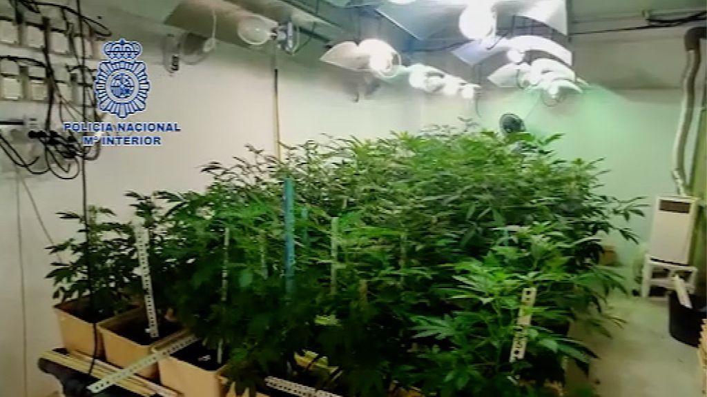 Los narcos cambian el hachís por la marihuana: desmanteladas cinco plantaciones de gran envergadura en La Linea de la Concepción