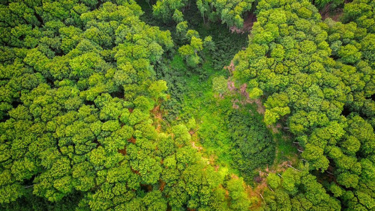 Kiri, Pawlonia, hogar del fénix... pros y contras del árbol que parece llamado a salvar el mundo
