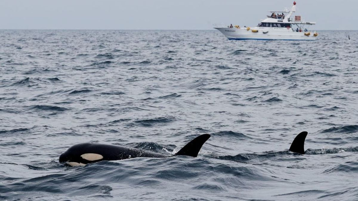 Un avión de reconocimiento busca a las orcas que 'atacan' veleros en la costa gallega