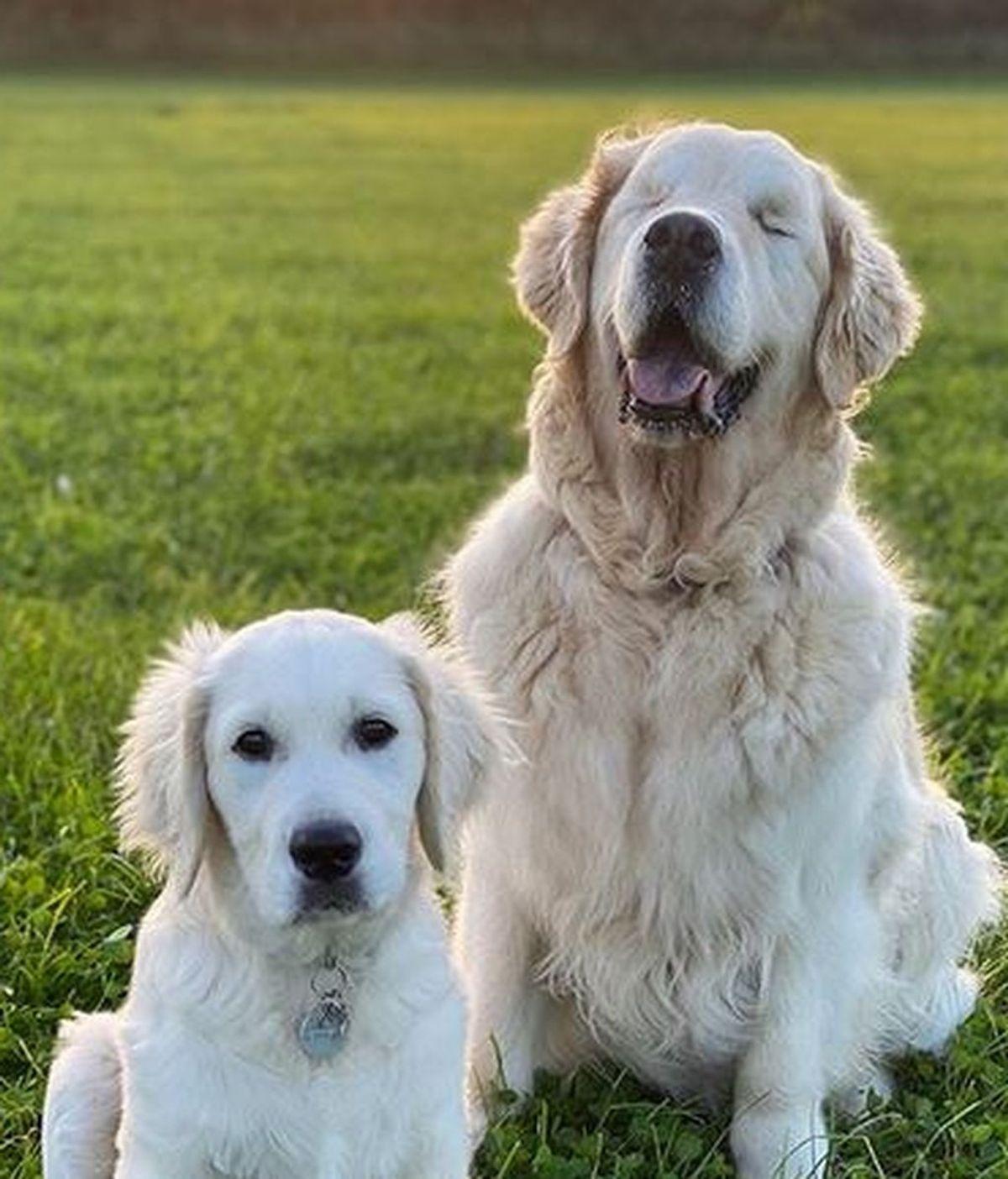 Tao, un perro ciego que tiene su propio perro guía