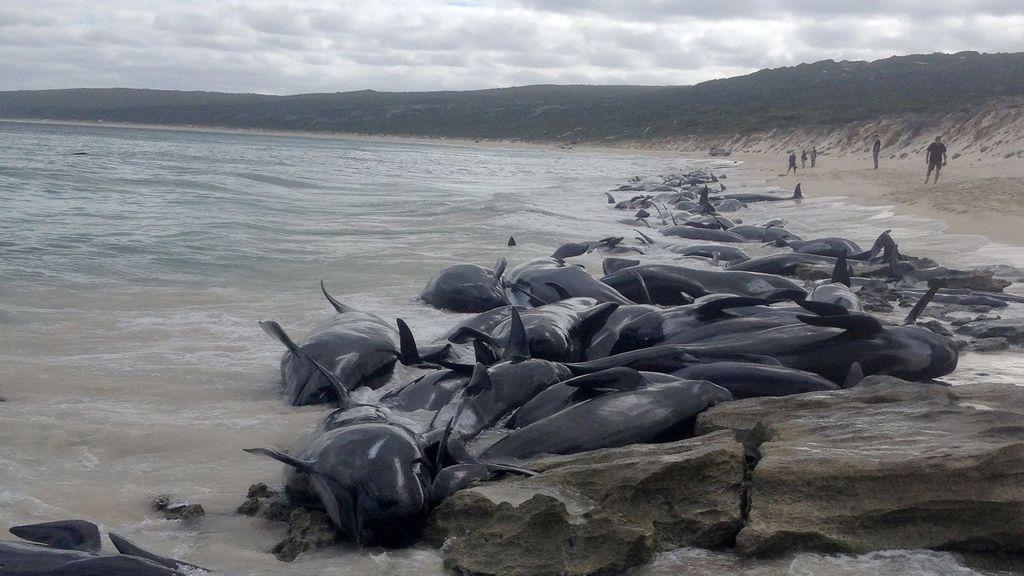 Mueren casi 400 ballenas varadas en Australia