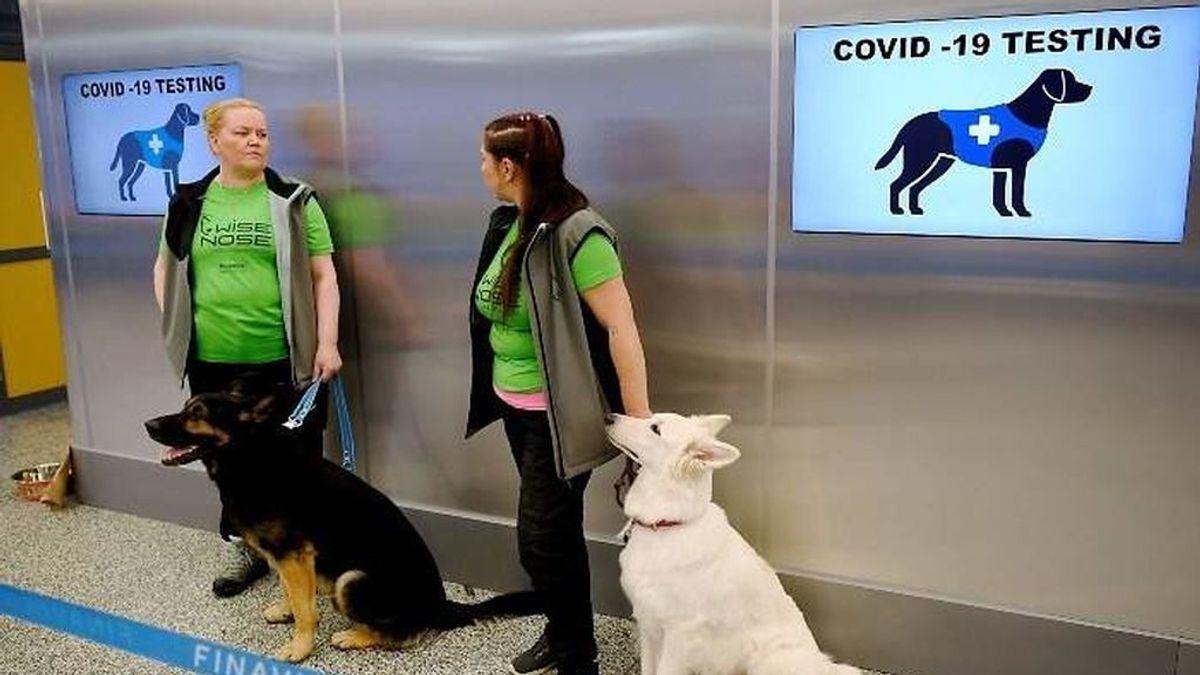 Perros adiestrados en el aeropuerto de Helsinki para detectar el coronavirus