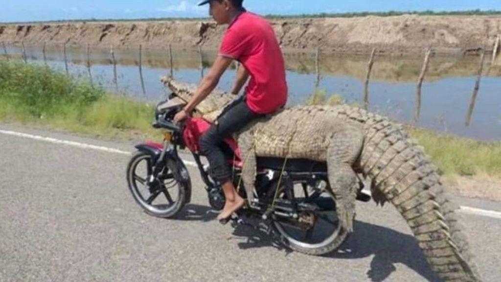 Dos jóvenes roban un cocodrilo y le dan una vuelta en moto en Sinaloa