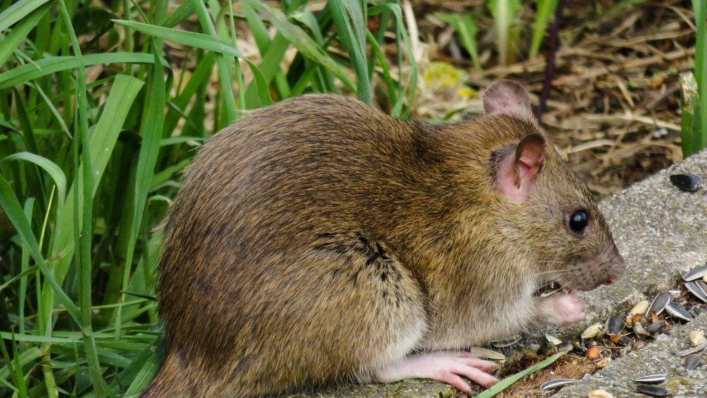 Magawa, la rata gigante que ha salvado miles de vidas: detecta miles de minas terrestres sin detonar
