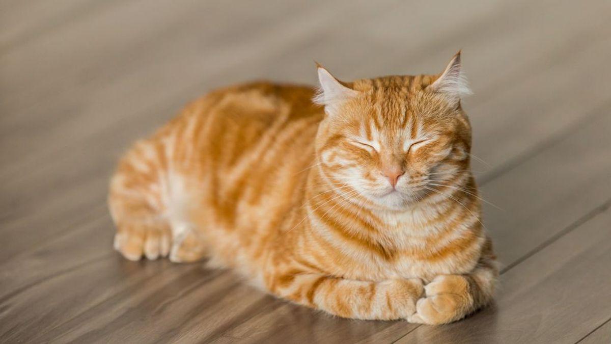 Amor gatuno, humano feliz: razas felinas que son muy cariñosas con sus dueños