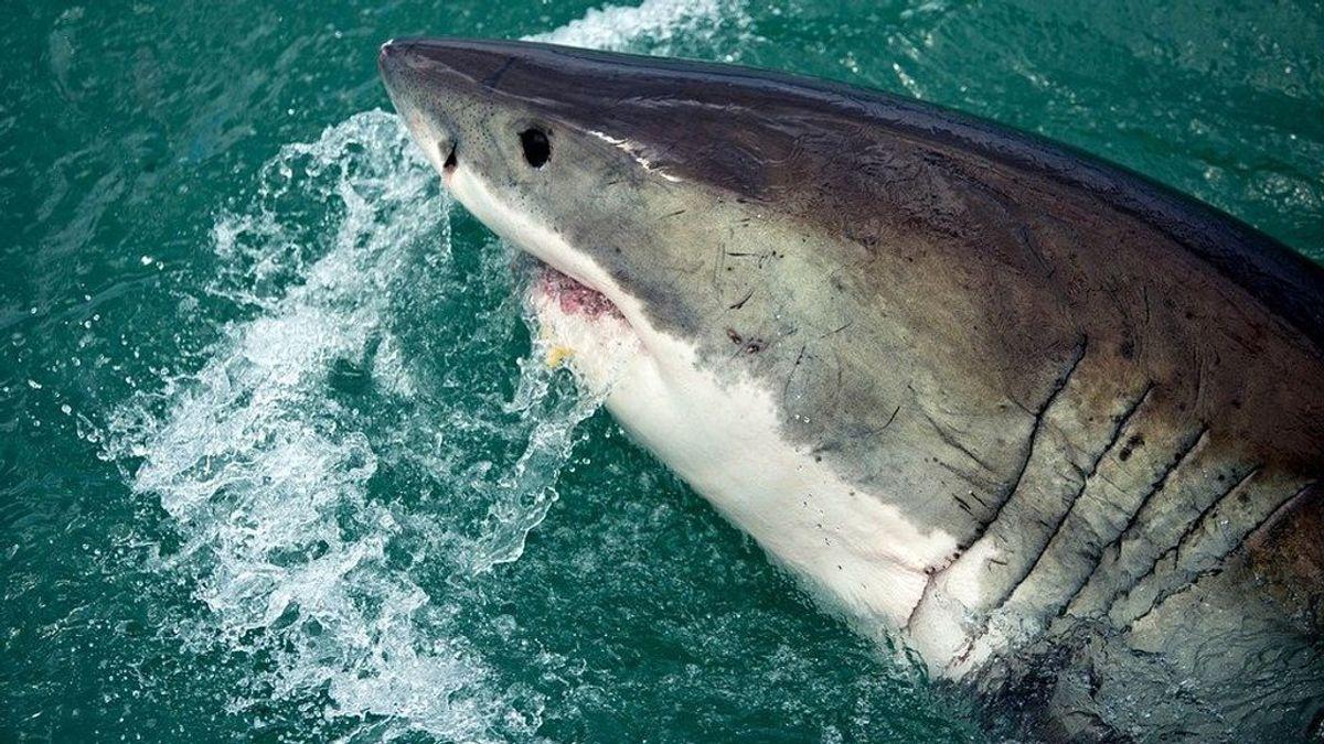 Medio millón de tiburones, en peligro por la vacuna del covid