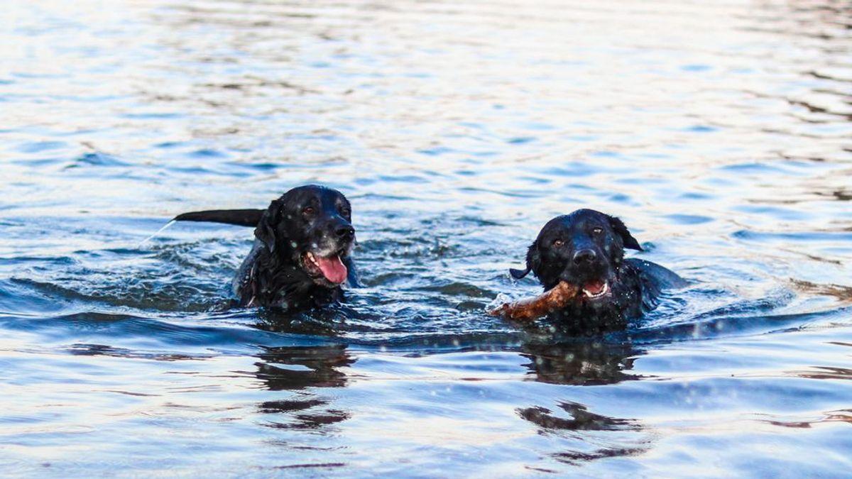 Adiós a los mitos: qué hay de cierto en la creencia de que los perros saben nadar por instinto