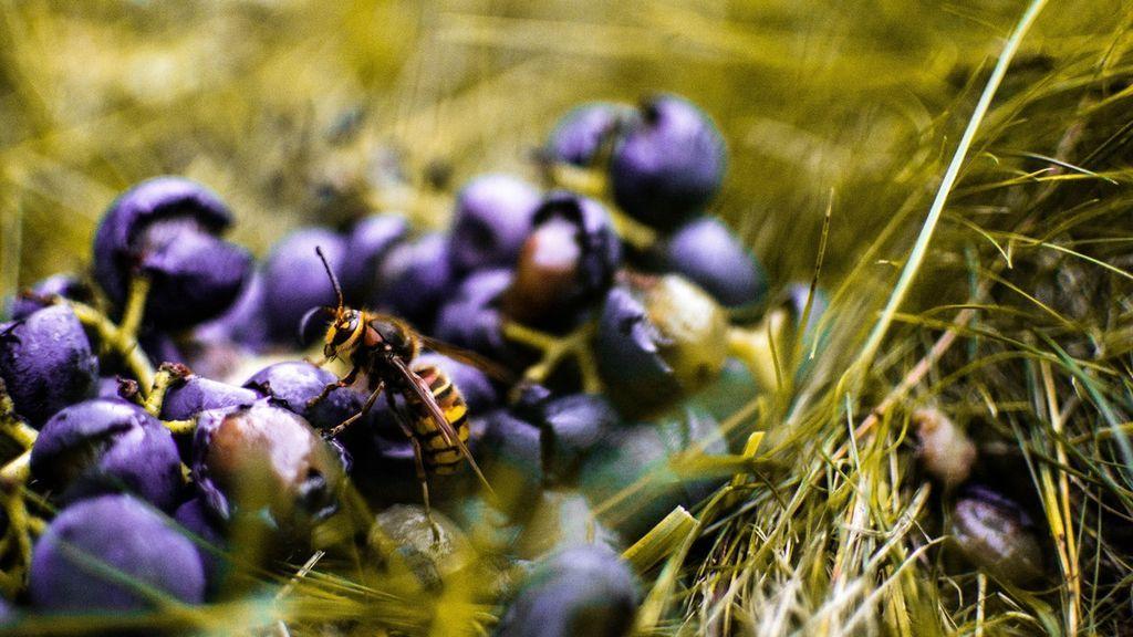 Avispas y vino: la importancia de este insecto en la cosecha