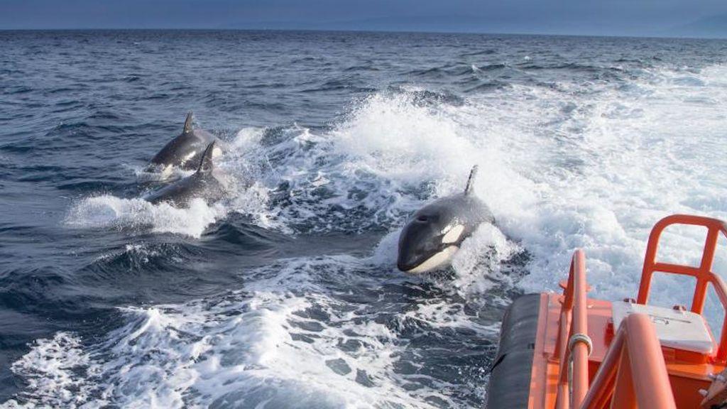 Se amplía el radio de restricciones a la navegación en Galicia porque persisten los ataques de orcas