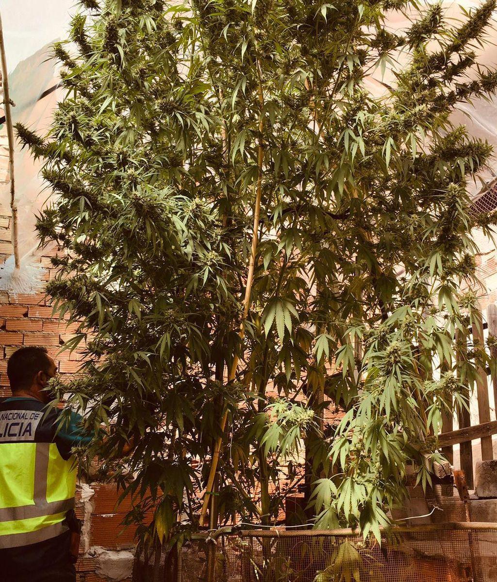 Árbol Marihuana