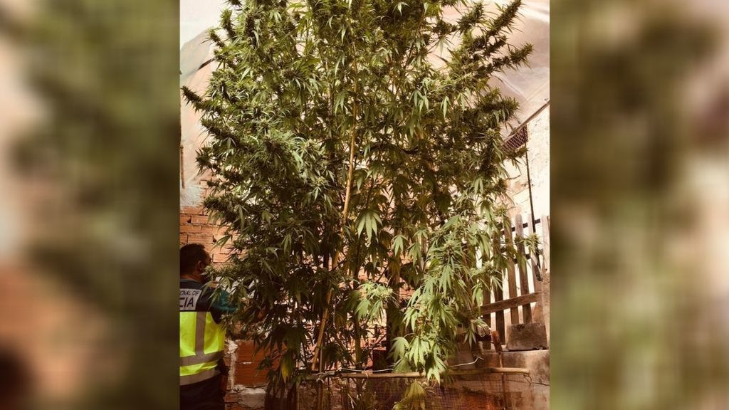 La policía de Murcia requisa un gigantesco árbol de marihuana de 5 metros y 20 kilos de cogollos