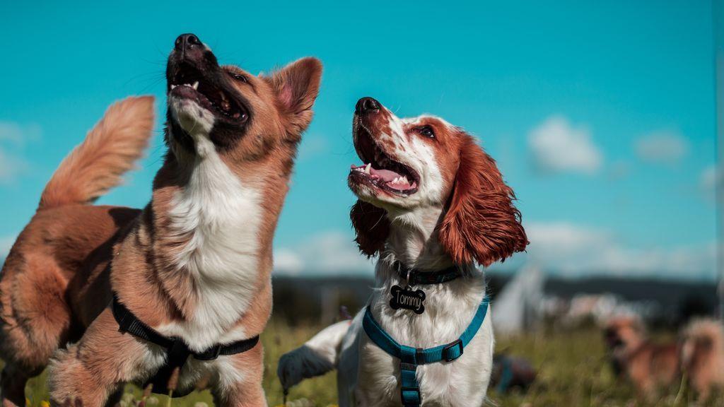 Las razas de perro más inteligentes, clasificadas del uno al diez