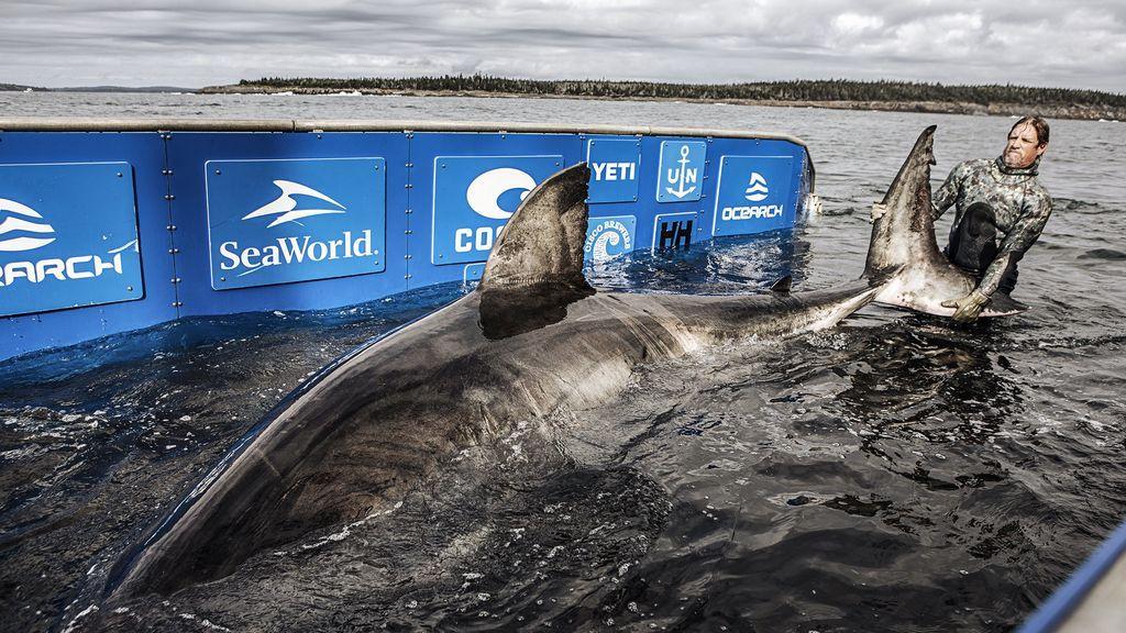 La matriarca del océano: encuentran un tiburón blanco de 5 metros y 1.600 kilos