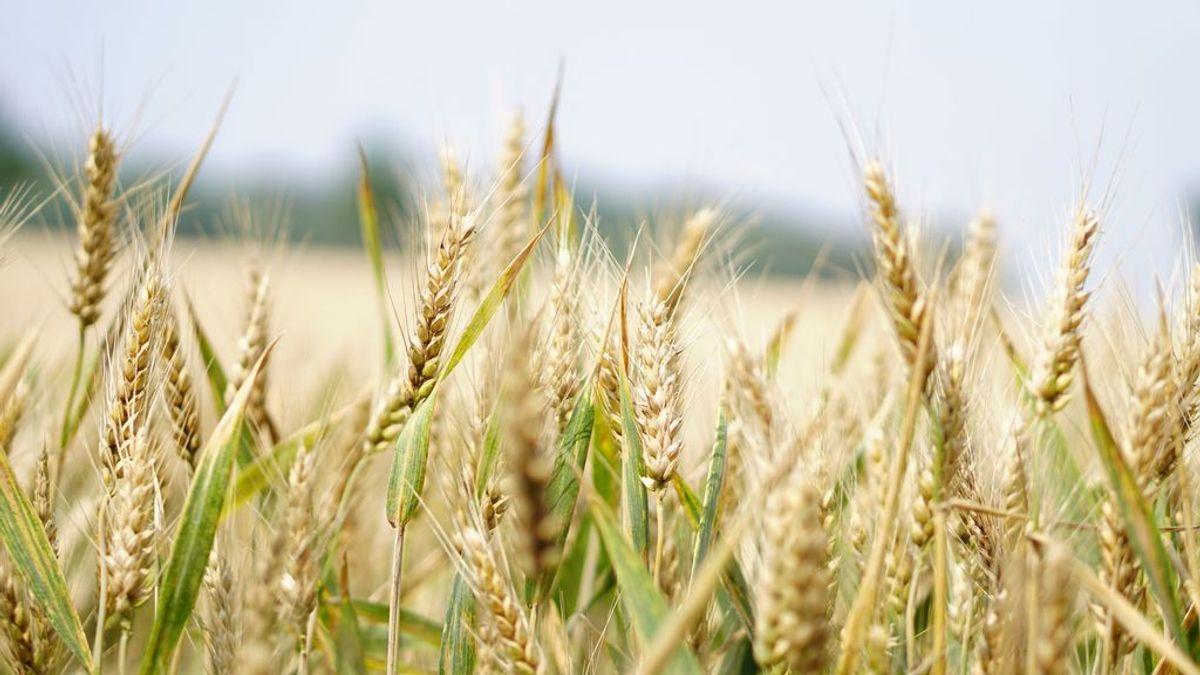 Campo de trigo - Pexels