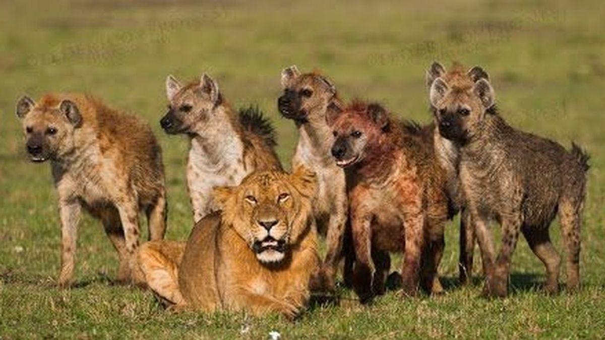 Desentrañan la compleja relación entre hienas y leones en su competición por la carroña