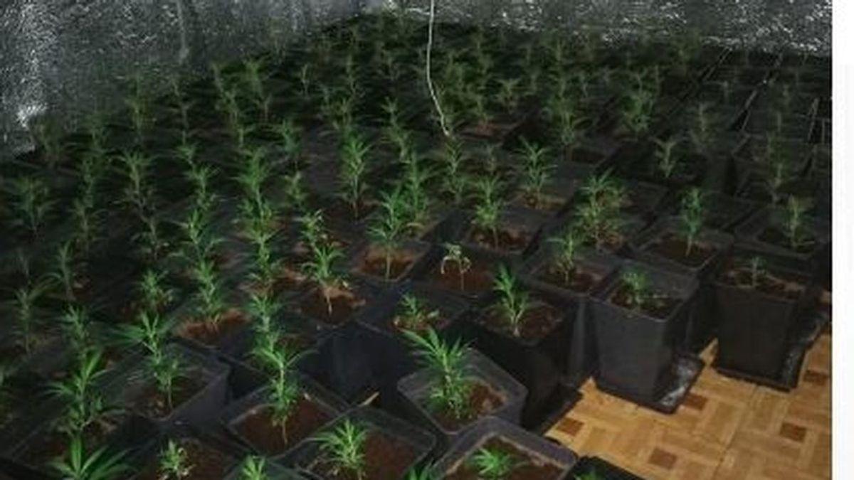 La Policía Nacional encuentra una plantación de marihuana en un piso del barrio madrileño de Vallecas