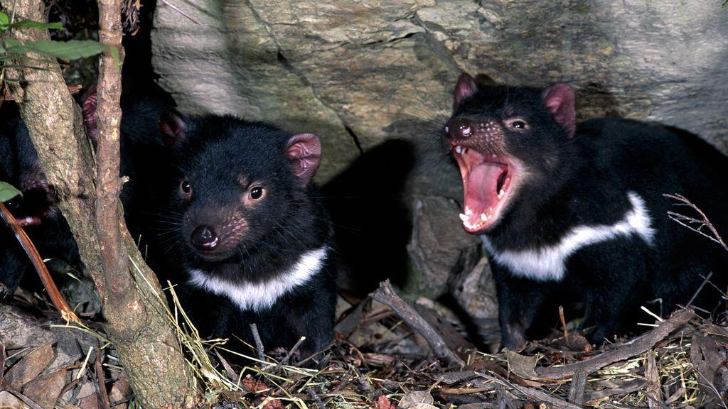 El demonio de Tasmania vuelve a Australia después de 3.000 años