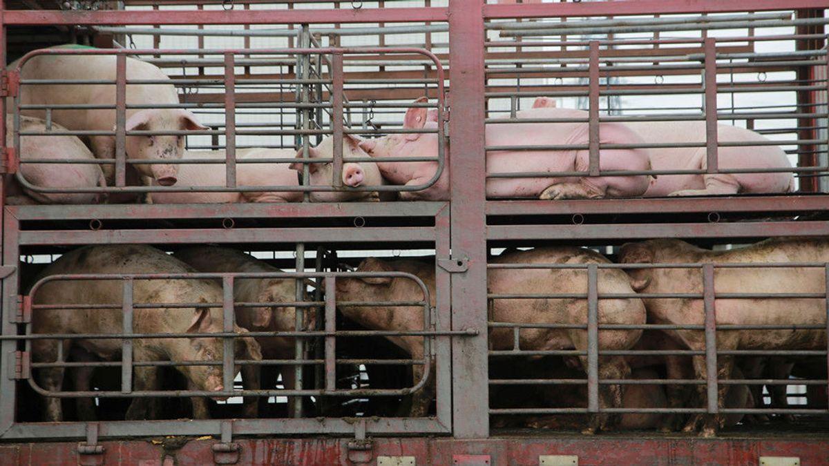 Un camión cargado de cerdos volcó en Argentina y la gente degolló a los animales para llevárselos