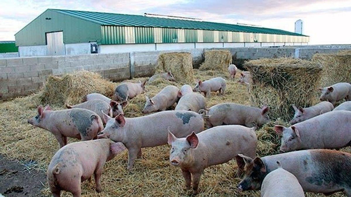 Brote de peste porcina en Corea del Sur: sacrifican 1.500 cerdos para contener la expansión