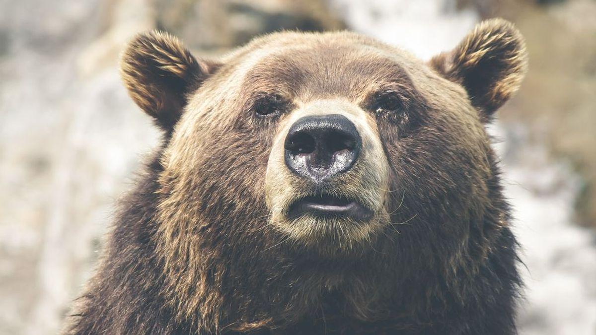 """Alaska elige al """"oso más gordo"""" en un popular concurso: el ganador, un ejemplar de más de 630 kilos"""