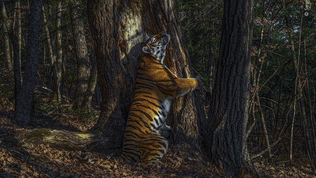 La imagen de una tigresa abrazando a un árbol, elegida mejor foto de naturaleza del año