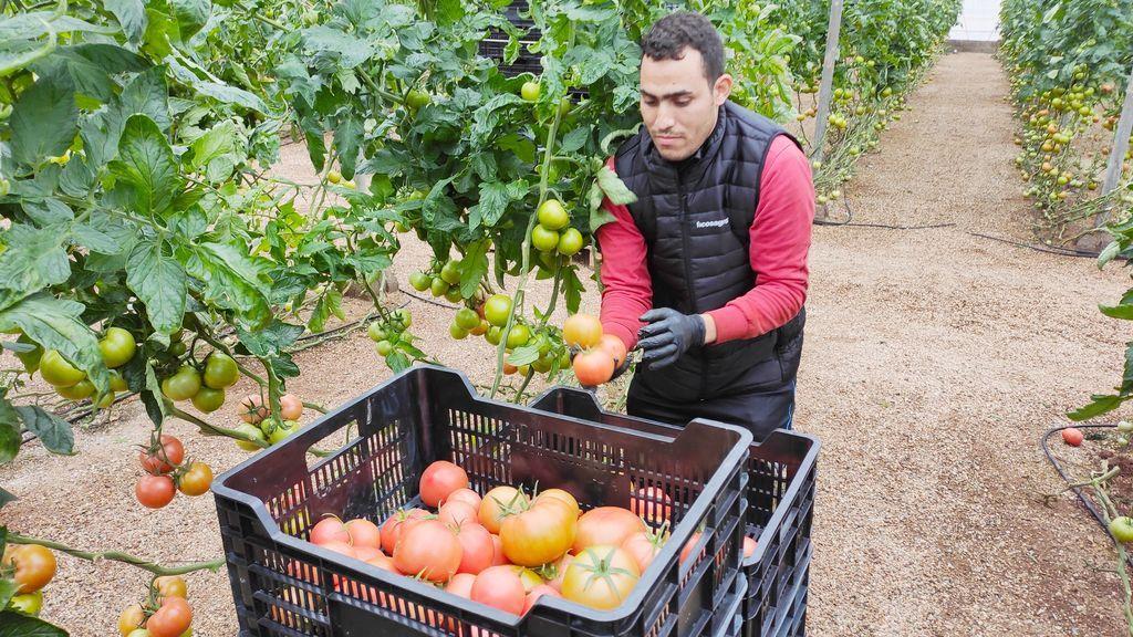 trabajador recolección tomate