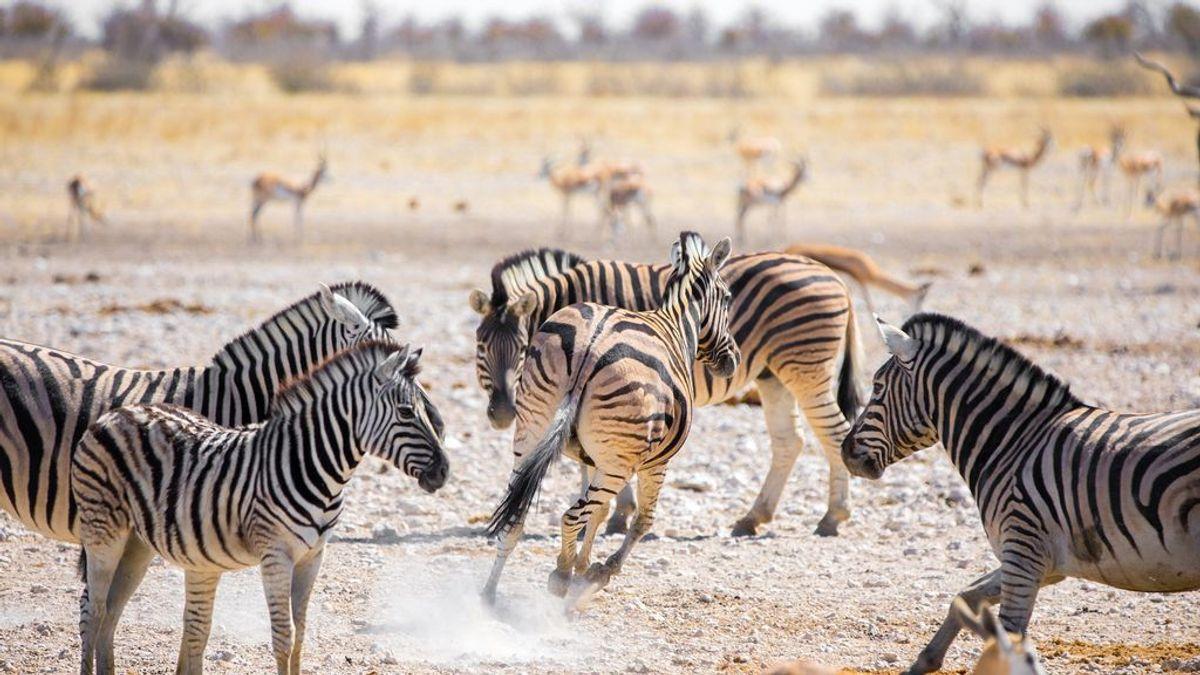 Las rayas de los animales indican al grupo en qué dirección huir de los depredadores