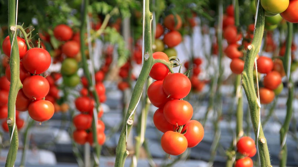 El modelo de producción de frutas y hortalizas de invernadero abastece a más de 500 millones de europeos con productos saludables durante todo el año