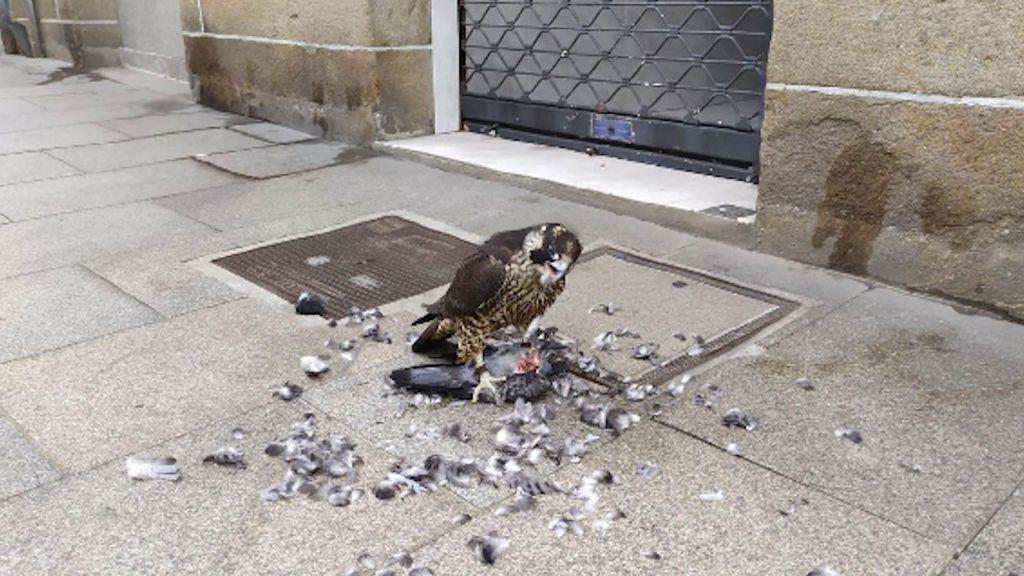 Un halcón peregrino campa a sus anchas por el centro de Marín y mantiene en vilo a la policía