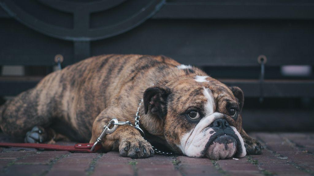 Can con lágrimas, animal infeliz: por qué lloran los perros y cómo calmarles